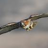 Hawks : Red-tailed Hawk, CA