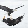 Bald Eagle :