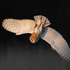 Barn Owl :