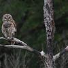 Barred Owl : Barred Owl, Florida