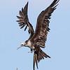 Frigate Bird :