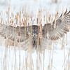 Great Grey Owl :
