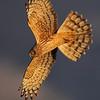 Northern Harrier : Northern Harrier, CA