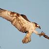 Osprey : Osprey, Florida
