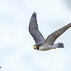 Peregerine Falcon : Peregrine Falcons