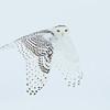 Snowy Owl : Snow owls