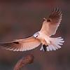 White-tailed Kite : White-tailed Kite, CA